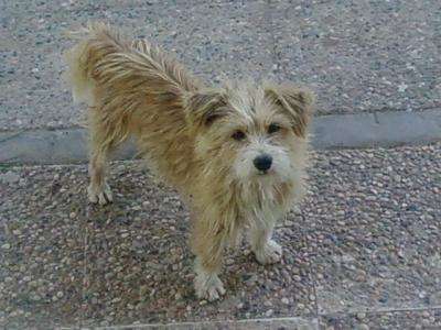 Darwin, precioso perrito pequeño de pelo largo