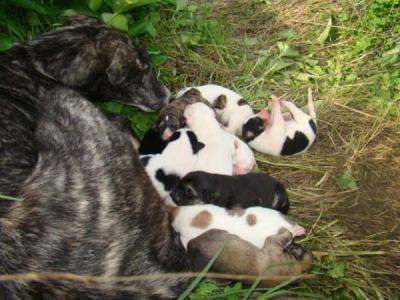 Cachorros cruce de galguito muy urgentes