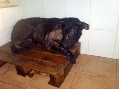 Perro deforme, lo sacrifican en Sangonera, Murcia