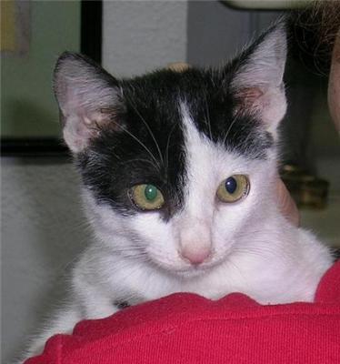 Eriol, precioso gatito de 2 meses y medio