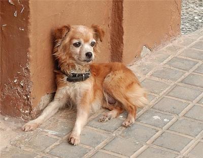 Estrella, mini perrita en adopción - Zaragoza