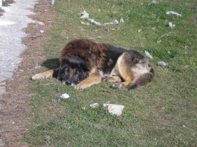 Perrito con fuerte displaxia de cadera en la calle
